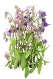 Gentle garden violet pink flower Stock Image