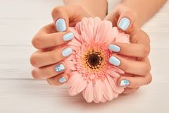 Gentle gerbera in female manicured hands. Beautiful female hands with fashion manicure holding peach color gerbera on white wooden background. Modern winter Royalty Free Stock Images