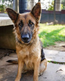 Gentle German Shepherd sitting on the ground Royalty Free Stock Image