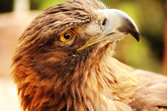 Gentle Golden Eagle Royalty Free Stock Images