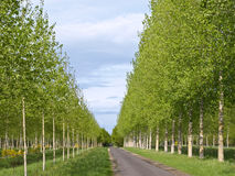 The gentle-green avenue. Of young trees leaving afar Royalty Free Stock Image