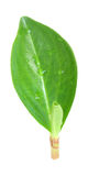 Gentle green leaf Royalty Free Stock Image
