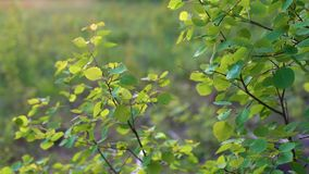Gentle green leaves of aspen gently swaying in the wind at sunset, in the evening in the forest. stock footage