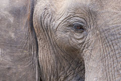 Gentle Grey Giant. Elephant eye, trunk, and ear close-up Stock Images