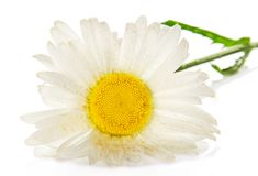 Gentle head of a camomile in the water drops Royalty Free Stock Image