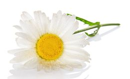 Gentle head of camomile in the water drops Stock Photography