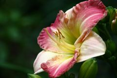 Gentle hemerocallis. Flower of a day lily with petals in gentle colors among not opened buds of green color Stock Image