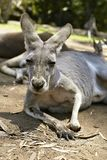 Gentle kangaroo lying on the ground Royalty Free Stock Photos