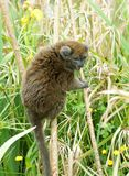 Gentle Lemur in grasses Royalty Free Stock Photos