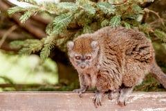 gentle lemuren Arkivfoto