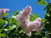 Gentle light lilac flowers and blue sky. stock photo