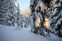 Gentle light. Gentle wintery light in snowy forest Royalty Free Stock Photography