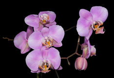 The gentle lilac branch of an orchid Stock Images