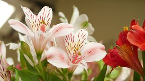 Gentle Lily Bush in Flowerpot. Gentle red and pink lily bush in flowerpot with recurved petals and contrasting red-orange anthers with markings such as spots and stock video