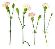 Gentle little pinks Stock Photos
