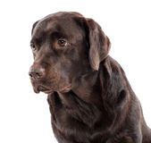 Gentle lovable chocolate labrador retriever Stock Images
