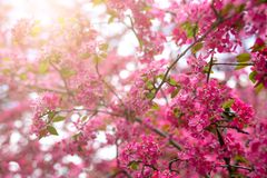 Gentle lovely pink fragrant spring flowers of a paradise apple-tree. Malus pumila - Beautiful gentle lovely pink fragrant spring flowers of a paradise apple-tree royalty free stock images