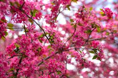 Gentle lovely pink fragrant spring flowers of a paradise apple-tree. Malus pumila - Beautiful gentle lovely pink fragrant spring flowers of a paradise apple-tree royalty free stock image
