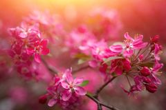 Gentle lovely pink fragrant spring flowers of a paradise apple-tree. Malus pumila - Beautiful gentle lovely pink fragrant spring flowers of a paradise apple-tree stock photos