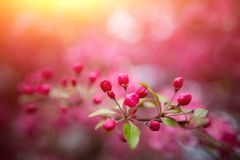 Gentle lovely pink fragrant spring flowers of a paradise apple-tree. Malus pumila - Beautiful gentle lovely pink fragrant spring flowers of a paradise apple-tree stock photo