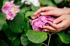 Gentle manicure and hydrangea. royalty free stock photography