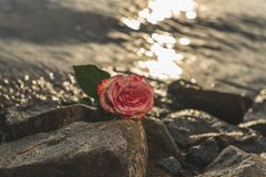 A gentle marble rose against the background of the water -2. A gentle marble rose against the background of the water. People pass and look at this beauty Stock Image