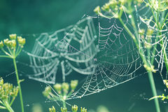 Gentle naturalistic background with spider web with dew. Royalty Free Stock Photos