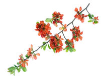 Gentle orange isolated branch. Gentle spring isolated branch with orange flowers  buds and green leaves Stock Images