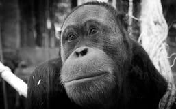 Gentle orangutan. A gentle face of an male orangutan Stock Photography