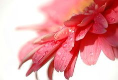 Gentle, pastel-pink petals of a gerbera royalty free stock photography