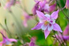 Delicate pink Aquilegia flower stock photo