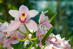 Gentle pink blooming orchids. Royalty Free Stock Photography