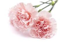 Gentle pink carnation flower Stock Images