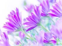 Gentle pink daisy flowers stock photos