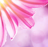 Gentle pink floral border. Beautiful gerbera on blur background, dew drops on tender flower petals, cute greeting card for mothers day, beauty of spring season stock photography