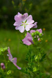 Gentle pink flower (lavatera Thuringian). Royalty Free Stock Photography