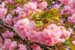 Gentle pink flowers of Japanese cherry blossom in sun rays Stock Images