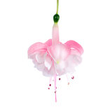 Gentle pink fuchsia is isolated on a white Stock Photo