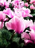 Gentle pink garden begonia close up royalty free stock photography