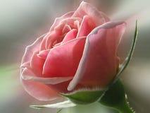 Gentle pink. Light pink bud of rose Stock Image