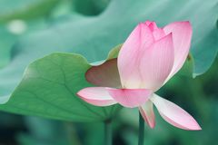 Gentle pink lotus. In the sunny day in the summer in garden, green background royalty free stock photography