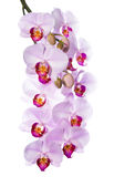 Gentle the pink orchid is isolated on a white Royalty Free Stock Photos