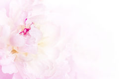 Gentle pink peony flower close-up Royalty Free Stock Images