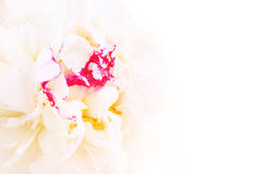 Gentle pink peony flower close-up Stock Photos