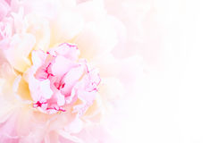 Gentle pink peony flower close-up Royalty Free Stock Photography