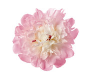 The gentle pink peony Royalty Free Stock Photo