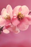 Pale pink petal macro Stock Image