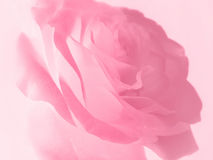 Gentle pink rose background Stock Photos