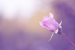 The gentle pink rose on a beautiful Sunny background with purple toning. Stock Photos