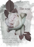 Gentle pink rose flower. On water color background Stock Photo